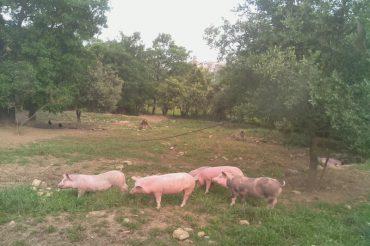 Granja de cerdos en directo – WebCam