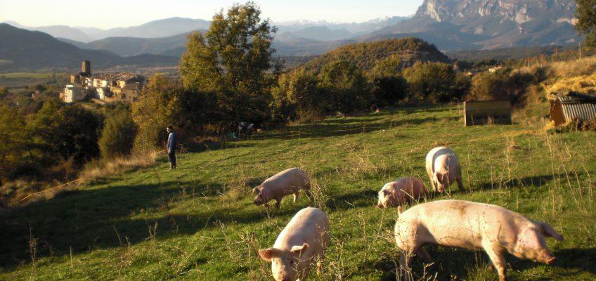 Cerdos del Pirineo, Latón de La Fueva