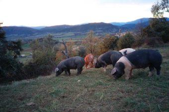 El cerdo «ibérico» del Pirineo