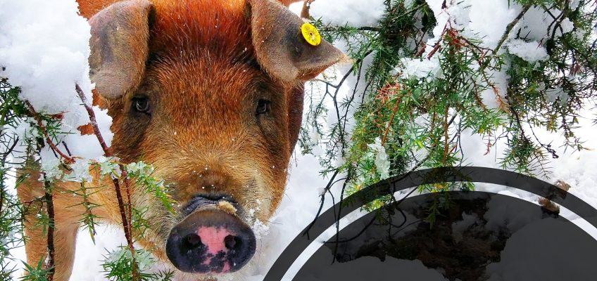 Cerdos en la nieve