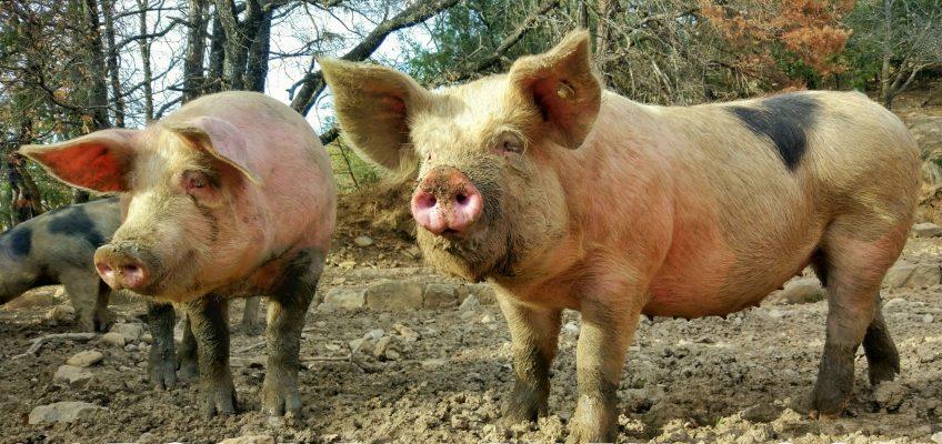 Cómo se adaptan los cerdos al clima adverso
