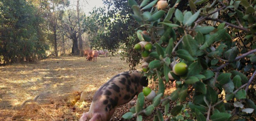 Cerdos criados al aire libre