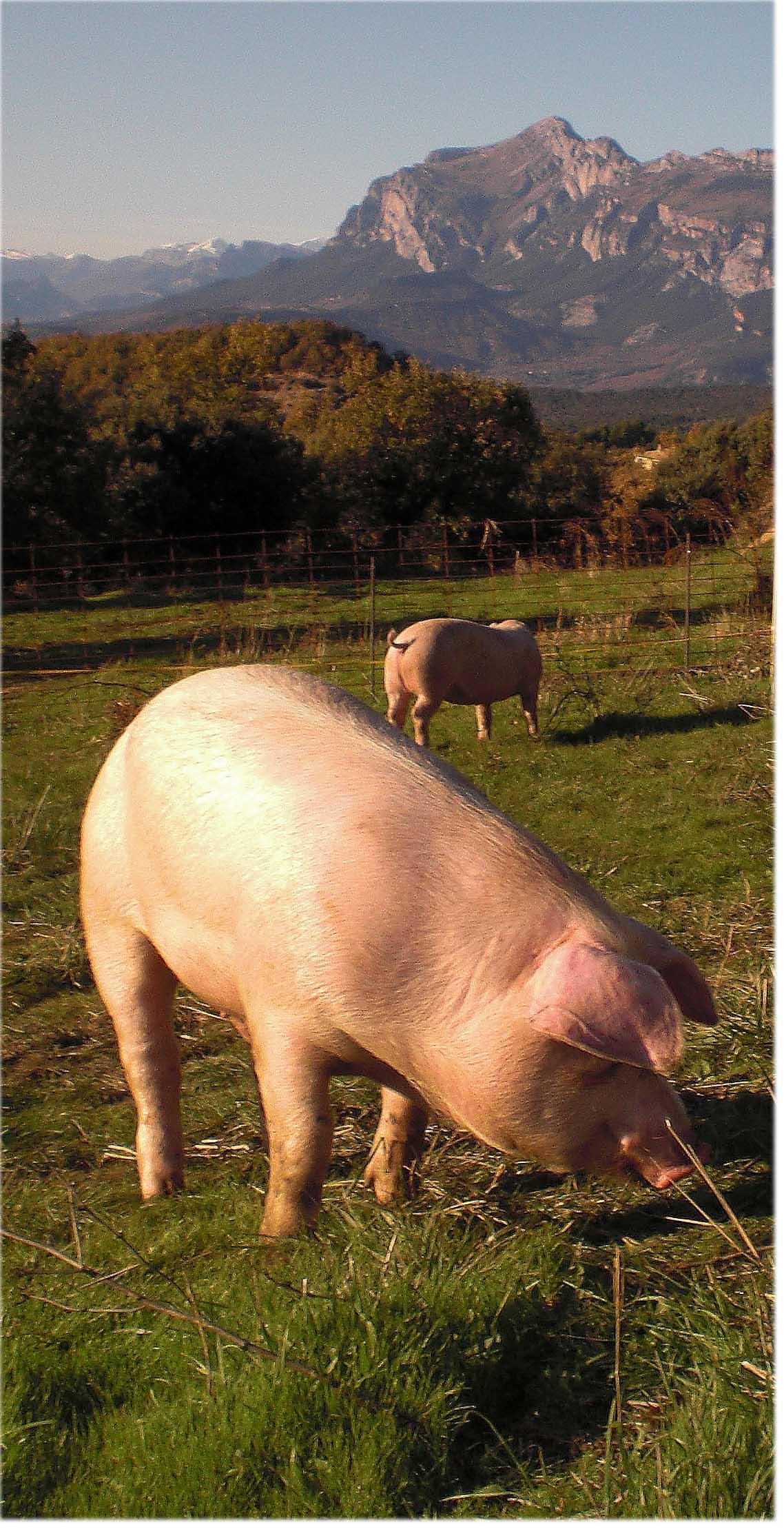 Resultado de imagen de cerdos